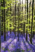 Stunning bluebell flowers in Spring forest landscape — Stock Photo