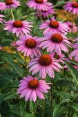Coneflower Rubinstern echinacea purpurea Summer flower — Stock Photo