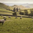 Sheep animals in farm landscape on sunny day in Peak District UK — Stock Photo #70696581