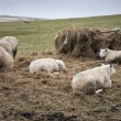 Sheep grazing in farm landscape on sunny day in Peak District UK — Stock Photo #75313669