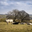 Cattle in Peak District UK landscape on sunny day — Stock Photo #75975579