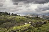 Sheep on rolling hillside landscape in Lake District in England — Stock Photo