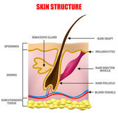 Skin structure — Stock Vector
