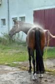 Washing horse — Stock Photo