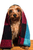 Cute yorkshire terrier portrait — Stock Photo