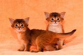 Two purebred somali kittens — Stock Photo