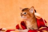 Profile of abyssinian kitten — Stock Photo