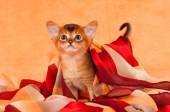 Little abyssinian kitten with headscarf — Stock Photo