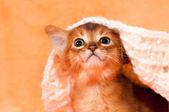Cute abyssinian kitten portrait — Stock Photo