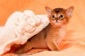 Abyssinian kitten portrait — Stock Photo