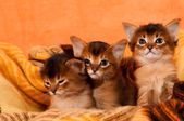 Somali kittens  — Stock Photo