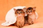 Two somali kittens under white hat — Stock Photo