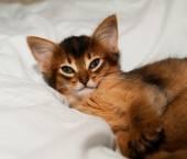 Portrait of somali kitten — Stock Photo