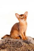 Abyssinian kitten sits on pillow — Stock Photo