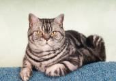 Full body portrait of american shorthair cat — Stock Photo