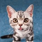 American shorthair kitten portrait — Stock Photo #80210284