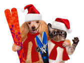 Cat and dog in red Christmas hats with skis. — Stock Photo