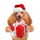 Dog with gift in red Christmas hats. — Stock Photo