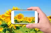 Hände unter Foto Sonnenblume mit smartphone. — Stockfoto