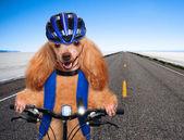 Dog cyclist. — Photo