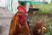 Village rooster — Stock Photo
