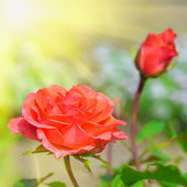 Schöne rote rose im garten im sommertag — Stockfoto