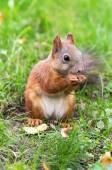 Ardilla marrón con nuecesesquilo marrom com nozes — Foto Stock