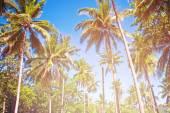 Coconut palm — Stock Photo
