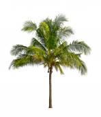 Coconut palm trees isolated on a white background — Stock Photo