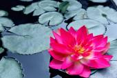 Red waterlily or lotus blossom  — Stock Photo