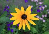 Yellow rudbeckia flower — Stock Photo