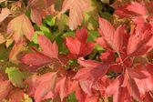 Autumn colors. Red leaves of viburnum — Stock Photo