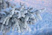 Frosty fir twig at sunset — Stock Photo