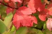 Autumn colors. Red and green leaves of viburnum — Stock Photo