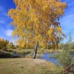 Autumn landscape - gold birch near pond — Stock Photo #67969101
