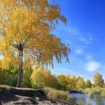 Autumn landscape - gold birch near pond — Stock Photo #68486891