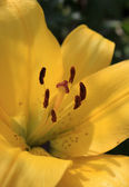 Inside a lily. Close up of yellow lily stamens — Stock Photo