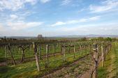 Vineyard with blue sky — Stock Photo