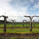 Vineyard with sky — Stock Photo #57660309