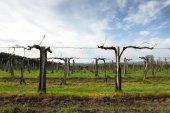 Vineyard with sky — Stock Photo