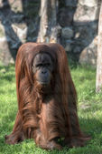 Grownup orangutan — Stock Photo