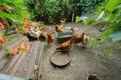 Chickens in the poultry yard eating — Stock Photo