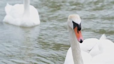 Closeup footage of a swan — Wideo stockowe