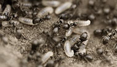 Karıncalar larvalar 4k ile vahşi görüntüleri — Stok video
