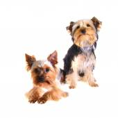 Photo Puppy Yorkshire Terrier. Portrait. Isolated — Stock Photo