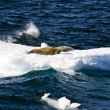 Seals On A Piece Of Floating Ice — Stock Photo #52408497