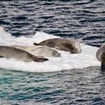 Antarctica - Seals On An Ice Floe — Stock Photo #52409143