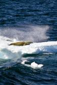 Antarctica - Seals On A Piece Of Floating Ice — Stock fotografie