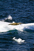 Seals On A Piece Of Floating Ice — Stok fotoğraf