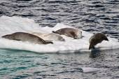 Antarctica - Seals On An Ice Floe — Stock Photo